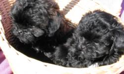 This sweet puppy was born 7/22/11. Mom is a 7LB AKC Shihtzu Dad is a 5LB AKC champion lines Toy Poodle. Pup is up to date on shots and worming. Pups dewclaws are removed. Pup is hypoallergenic. Pup is well socialized with children. Cash Only