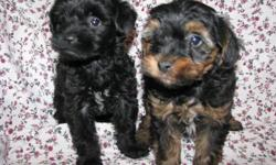 These sweet puppies were born on 4/23/11. Mom is a 6LB AKC Toy Poodle Dad is a 5LB AKC York Shire Terrier. Both parents have champion lines. Pups are up to date on shots and worming. Pups are hypoallergenic. Pups tail and dewclaws are removed to breed
