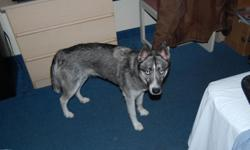 Lost Siberian Husky Female, Named Madeline Magnolia aka Good Bad Dog. Lost on May 9th 2012. Dropped off at Humane Society on 12MAY 2012 Humane Society turned her away, Person who went to dropped her off, left her in Humane Society Parking Lot$1800