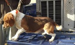 A red and white 13 in beage. Good runing dog. 4 years old