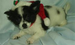 ONLY THE SMALLEST ONE WITH THE SCARF ON IF LEFT. I HAVE A LITTER OF 2 MALES THAT WERE BORN ON 10/3/12. THEY ARE A CROSS OF A CHIHUAHUA AND A PAPILLON. THEY LOOK LIKE THEIR MOM THE PAPILLON. THE DAD IS ONE OF OUR CHIHUAHUAS THAT WAS BORN HERE (BUT HIS
