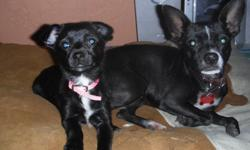 Beautiful Super Sweet 1 Year Old Chihuahua and her female puppy needs a forever home. Elderly Couple can't take care of her anymore and need to find her a home. She gets alone good with other Dogs and great with Kids. $100 Re-homing Fee for both