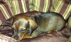 he's chocolate brown colored, about 8wks old, has first shots. very fun, playful, and lovable. comes with complete accessories: kennel carrier, collar, leash, bed, food/water bowl, and a sample of the dry food he's currently eating. i just got him but