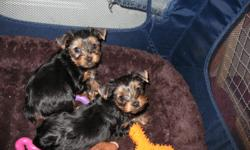 1 Male 1 Female 7 week old Yorkies. I have both parents, Mama is 4 lbs and Dad is just at 5lbs. Pups will be small. Champion bloodline on the fathers side. They are weened and should be ready to go at 9 weeks. Have tails and dews done and will have shots