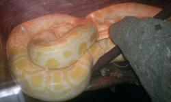 I have two beautiful Large Pythons for sale with cage !! Please only serious & knowledgeable buyers ..
