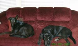 Hi. Unfortuately we are moving, and they will not allow us to bring our furry friends. :-( As such, we are looking for a safe, fun, and loving home for our two dogs, Cody and Boomer. Both are male, full grown black lab/German Shepard mixes (Cody is 4