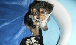 Smallest Maltese/Yorkshire (mixed) on Earth. $145 for each Two extremely cute Yorkie/Maltese now 8 weeks and ready. 1 male and 1 female, 2 months old, wormed, vet examined, microchip, healthy, active, playful and ready. very playful and small, portable
