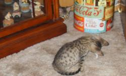 Rare exotic Leopard look a like, pure bred tawny males. White on bottom, pale gray in the middle, and dark gray on top with dramatic black spots all over the body. Extraordinary contrast of markings. Excellent for owners who are prone to allergies, with