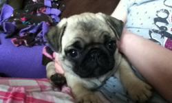 We have two fawn female pug puppies that are 9 weeks old. They have had there first shots and dewormed.We are asking 350 OBO. We need to find some new homes for these adorable little girls. I am more then happy to answer any questions. But please don't