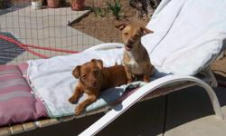 I have 2 little female dogs. Maybe about 4 months old. I think they are a Chihualua Mix- but am not sure. They were lost and I found them, and have tryed for 3 weeks to find the owners, Ads, flyers, went to the pound ect. I NEED to find a HOME for them.