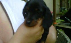 Two very cute short hair dashshund puppies for sale. Both are black with a little red. Ready to a good home next week (8/1/11). Mom is black and red and Dad is tri-dapple color. First shots and deworming have been given. Please email me if interest with