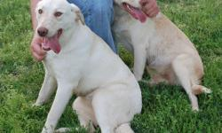 We found two young female lab mix dogs near the intersection of Ready Section and Pulaski Pike in Toney, AL. Please call 256-656-648I