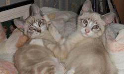 Two kittens, White with dark ears,tails and markings. One is has less markings and more white.