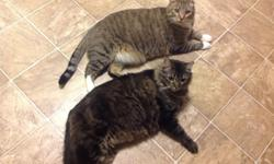 I have 2 male adult cats that need a new home (I will be moving and will not be able to take them with me). They have been neutered and front-pawed declawed. They are litter boxed trained as well. They are very good cats! Would like them to stay together