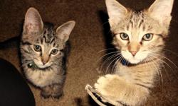 I have two wonderful babies that unfortunately am able to keep. I seem to be allergic to cat hair. So I want to find my babies a very good home. They have both had their first two sets of shots and dewormer. They go to Meadow Wood pet clinic and see the