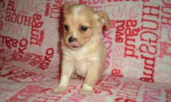 Chihuahuas available one male and one female,8 weeks old.Both are longhair chihuahua,the male is a fawn and cream color with white markings to the head,chest and paws,The female is cream color with white markings to chest area.Both are eating dry softened