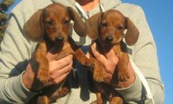 We have 2 male mini doxie puppies for sale. One red and other is mahogamy. Sweet puppies that need a good home. Call Linda --