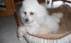 2 male Toy Poodles both cream w/white 3lbs. One male w/brown points and green eyes the other w/blacks points black eyes. They are paper trained and have a great spunky personality. Mom is 5 lbs., dad is 4lbs. and they are both white. They are 8 weeks old