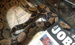 I have two boas.  Male is 2.5 years and is 3.5 feet long. Female is 4.5 years and is about five feet long.  They are very tame and like to be handled.  Male eats 2 small mice every 8 to 12 days; female eats 1 medium