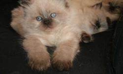 2 gorgeous Siamese Himalayan Cats for FREE. Very rare, seal point cats. Loving, friendly, house broken, indoor cats with up-to-date shots. Both are fixed, and de-clawed. Come with remaining cat food/treats, toys, collars, carrier, and litter boxes. Like