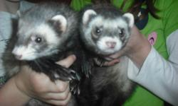 """Two ferrets for sale to good home. This pair have been raised together since they were babies & therefore would like to see them stay together. """"Oliver"""" & """"Bandit"""" have grown-up with a lot of handling and attention. They are extremely friendly and don't"""