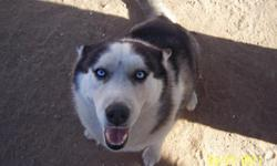 Beautiful 2 year old female husky. She is extremely loving and affectionate. She was a run away that I took in and now find I do not have time to give her the love and affection she deserves. I am unaware how pure she is or weather she has her shots.