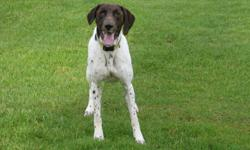 beutiful shorthair male neutered current on all vac. exe hunting dog just needs finished. points and retrieves very muscular dog in very athletic condition. needs room to run and loves to play fetch prefer fenced property do not want him to be kennel all