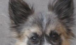 POMERANIAN MALE, 2 YRS. OLD WITH A BEAUTIFUL COAT!!!! Approx. 5 lbs. Blue Tri, absolutely gorgeous. Has been used for breeding, as he is not altered. Proven breeder or can be bought for a perfect pet. Really sweet, total house dog. $650.00 NO PAPERS come