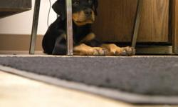 Beautiful 3-4 month old Rotti puppy. Female, about 30lbs. Named Chloe but still young enough to where you could train her to be named whatever you want. First set of shots have been given along with 1 yr. rabies vaccine.
