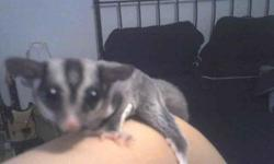 i have 3 males and 1 female sugar glider for sale. very hand tame get along well with other suggies and very friendly with everyone. they Dont come with a cage or anything but they are adorible and are well behaved. $150 EACH. must go asap i live in port