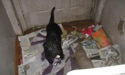 3 month old sharpei puppy black beautiful very playful and cuddly loves to be handled is great with children