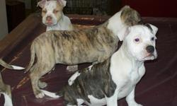 3 pit bull puppies, 4 months old, shots and wormed. Very healthy, mom and dad live on premises. These puppies are family oriented, playful and friendly. Will make some lucky family very happy. Raised with a lot of love and care.