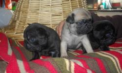 I have 2 male pug puppies left that will be ready to go a couple days before xmas. Both are black. Make awesome gifts. Call or email if interested and I could also sent pics. --