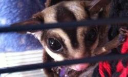 3 sugar gliders- 1 intact male and 2 females, cage, and accessories. $500.00 (hagerstown, Md)