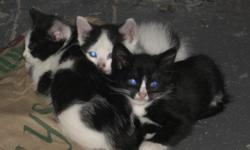 The apartment's outdoor cat has 3 beautiful kittens that are in need of a good home! They are recently weaned but will need toilet training and injections etc. as they are currently living outside! Two are white with black spots and one is black with