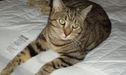 Max the Cat will be 3 years old in July, i have had him since he was a kitten, he has all his shots and is fixed. He has no front claws just the back,he's never had fleas or mites he stays inside. I believe he might have some Bengal in him, because he has
