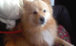 Animal Type: Dog Pet Name: Jux Breed: Pomeranian Gender: Male Size: Small Age: Adult Altered: Yes Jux is a 3 year old pomeranian. He loves to both walk and be carried. He loves to play and is in perfect health. I still have all his paperwork showing his