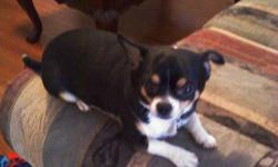 LIL RICKY IS A LOVING, FULL-BLOODED CHI AND NEEDS TO GO TO A LOVING HOME. SHORT HAIR, PLAYFUL, LOVES TO CUDDLE. UP TO DATE ON ALL SHOTS AND HAS BEEN NEUTERED. BEAUTIFUL TRI-COLORING AND IS ABOUT 10#. GREAT AROUND KIDS AND OTHER DOGS.
