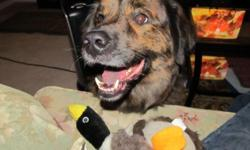 We are in need of a new home for our family dog. His name is Harley and he is 3 years old. He's a Chow/Boxer mix and brindle in color. He weighs approximately 70 lbs. We are in need of a home for him because our new home does not allow pets. He is an