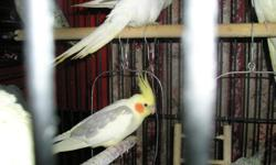 In order to get them, I need you to bring a cage that the front opens up so I can catch my 2 conures in it, then I'll catch the cockatiels in a carrier. and you take the cockatiels home in your cage. if you don't want the cage, the cockatiels are free for