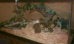 """Ihave a snake for sale he is very tame includes """"terrarium"""" which is basically an oversized tank and all supplies. All worth around $500. (snake alone is worth 250.) He is a red tail dwarf boa who is very people friendly. Eats in seperate container"""