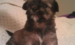 These puppies come with there first shot and dewormed. There mother is a 5 pound yorkie and there father is a 5 pound shih-Tzu. They are so cute and love to play. If you are looking for a friend for life hear they are for more info call --