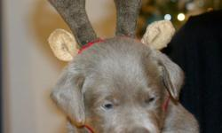 4 Male Silver Lab Puppies ready to go Jan 4th. Puppies come with AKC papers, Declaws removed, 1st set of shots, Dewormed and Vet checked. Raised in our home with kids, mother on site. Both parents are OFA certified excellent and Eye CERF. 1st Puppy Blue