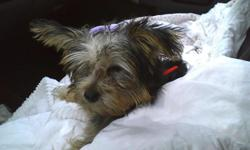 Cute 4 month old Yorkie Lots of personality 350.00 to a good home
