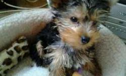 black n tan male yorkie 4 months very playful. Has been trained to use wee wee pad.