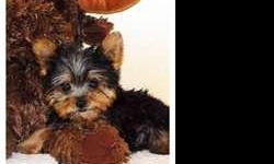 Yorkie she is very Beautiful ready for a good home