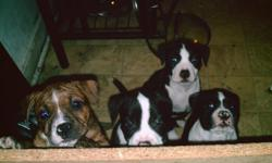 they are 8 weeks old there pie bald and red nose mix have 2 males and 2 femals left asking $250.00 for the males and $300.00 for the females