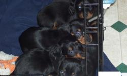 Black and Tan miniature dachshund puppies. 1 Female and 3 Males. 1 male is long hair. The other three pups are smooth hair. Mom is smooth hair and dad is long hair. Born 6/8/2010 and will be ready for new home anytime after 7/20/2010. Will have 1st shots
