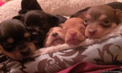 I have 4 wk old chihuahuas.... They are too cute .....i have both parents. i gotta let them go cant afford to keep another ..:( there are boys 2 are black 1 with brown spots 1 with white ...the girl is blonde ....and there is a brown and blonde 1