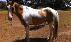 Very sweet paolmino paint, has a few days riding but hasn't been worked with bit. Loves people!